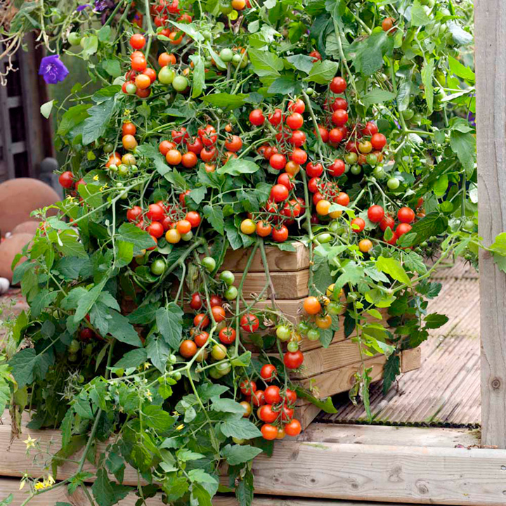 Complete Tutorial To Grow Tomatoes At Home Acegardener