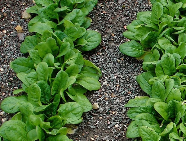 Grow Spinach in your Garden