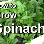 Growing Spinach in Kitchen Garden
