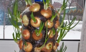 Grow Onion in pot