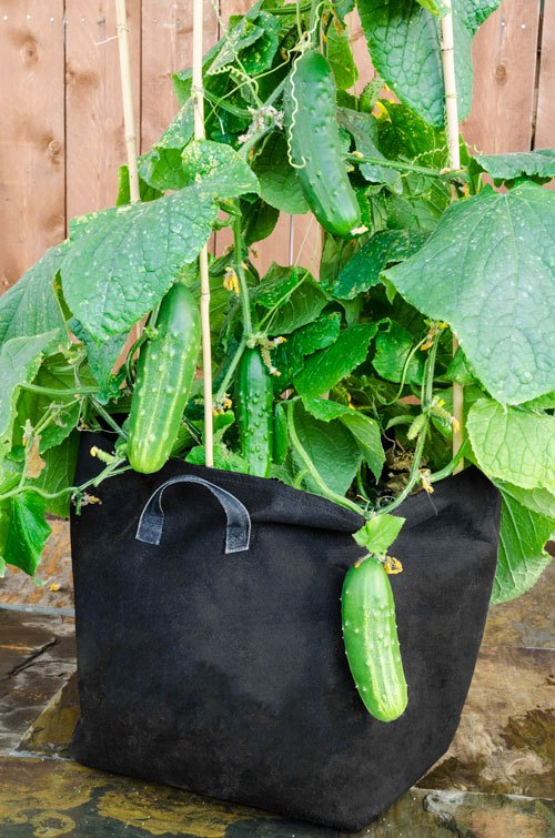 cucumber plant in pot wwwimgkidcom the image kid has it