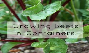 beetroot container gardening