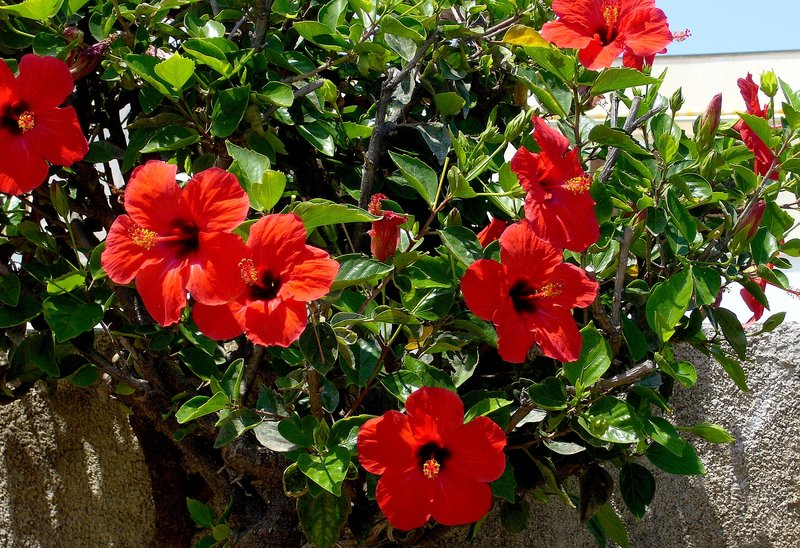 How To Grow Hibiscus In Home Garden Acegardener