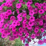Growing Petunia in Home Garden