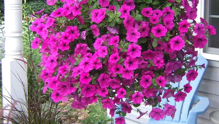 Hanging Flower Baskets At Lowes : Complete guide for growing petunia in home garden