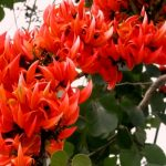 Growing & Maintaining Palash – The Ayurvedic Boon