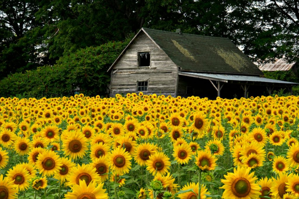 Sunflower field cover photo