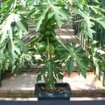 How to Grow Papaya Trees in Pots and Containers from Seed