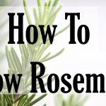 Growing, Planting And Harvesting Rosemary Plants