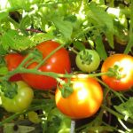 Effects of Whiteflies on Tomatoes and Preventive Measures