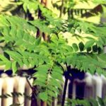 Benefits and Facts of Curry Plant