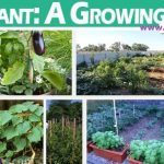 Steps To Grow Brinjals in Containers