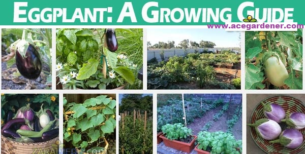 eggplant-a-growing-guide1