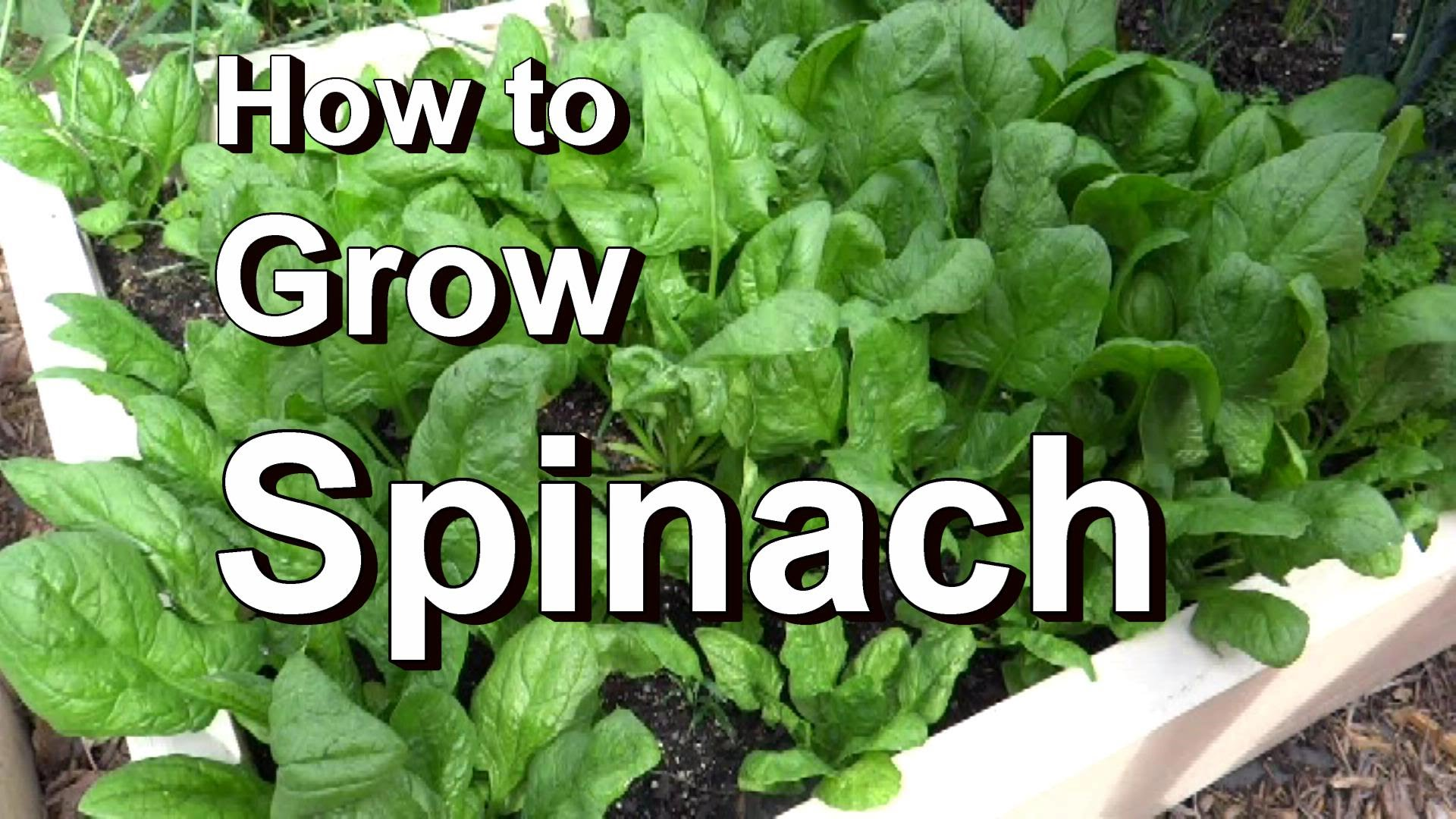 Growing Spinach in Kitchen Garden - Acegardener