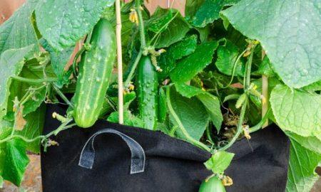 ace gardener cucumber