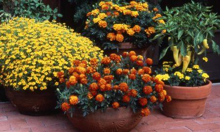 Marigold_pots