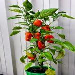 capsicum pots gardening