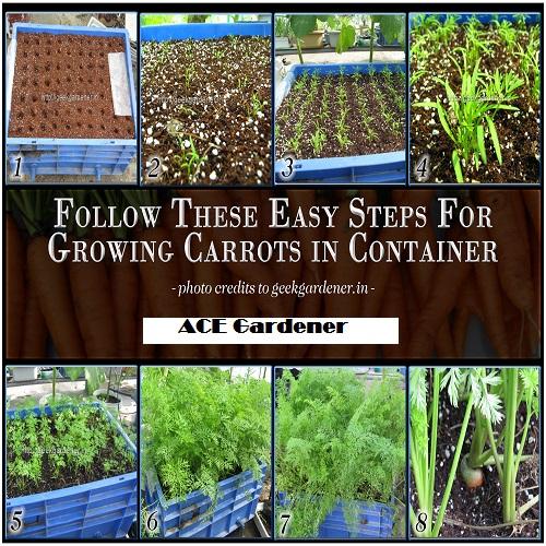 carrot gardening in pots