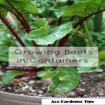 beetroot container gardening