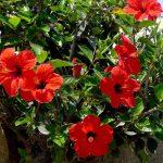 Growing Hibiscus in Home Garden