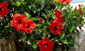 Hibiscus Ace Gardener
