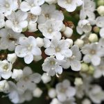 Essential Tips to Grow Jasmine in the Pot!