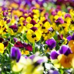 Add a Dash of Color With Pansies Blossoms in Your Spring Garden