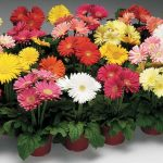 Some Basics for Growing Gerberas in Pots