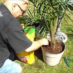 Planting, Growing & Caring for your Palm Tree