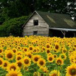 Sunflower for Home Garden-The Right Growing Method