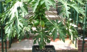 Grow Papaya Trees in Pots and Containers from Seed